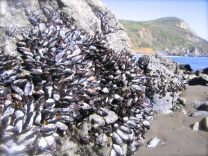 Mussels in the intertidal zone.
