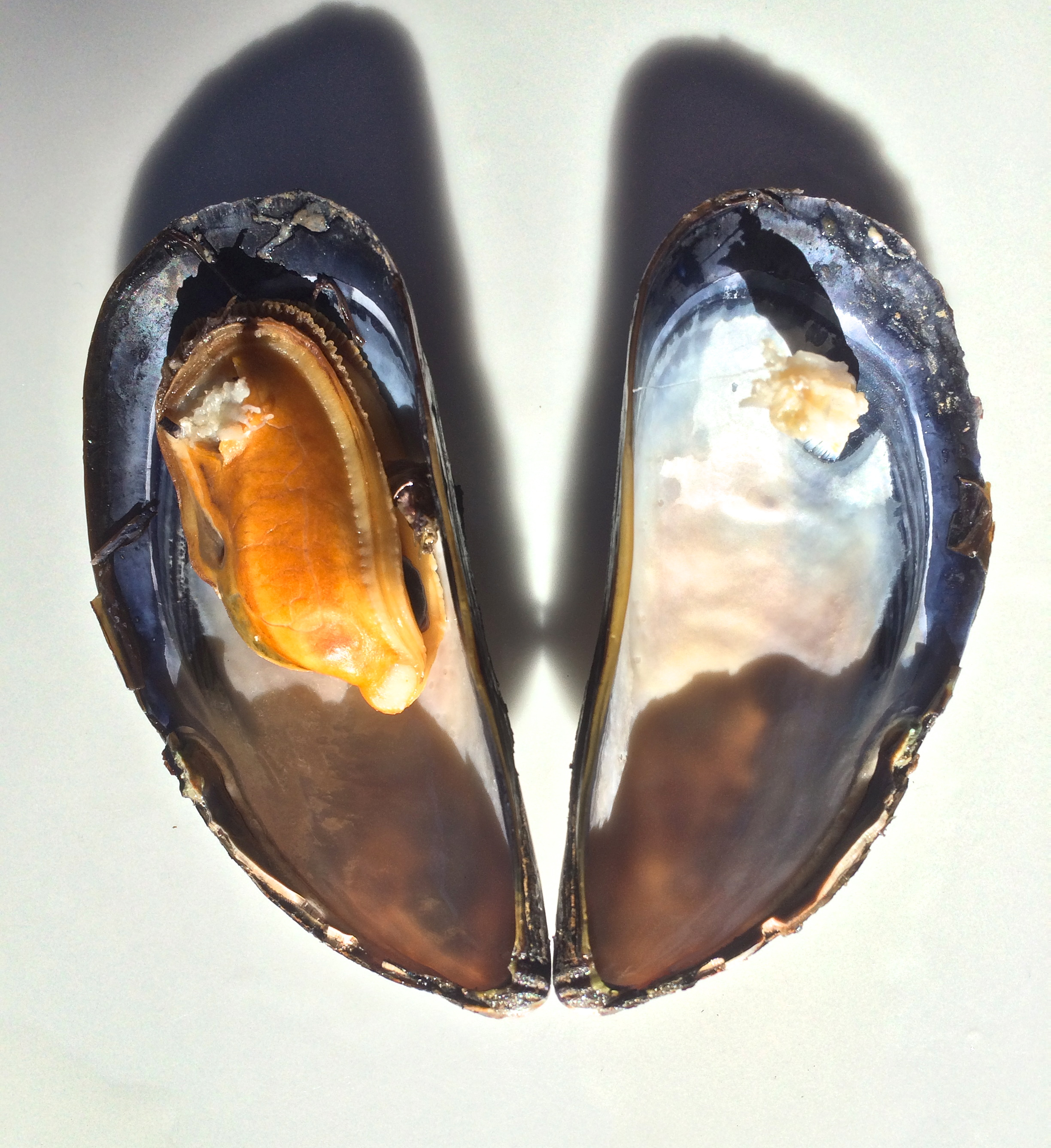 Bilateral symmetry is a feature of mussel bivalves.