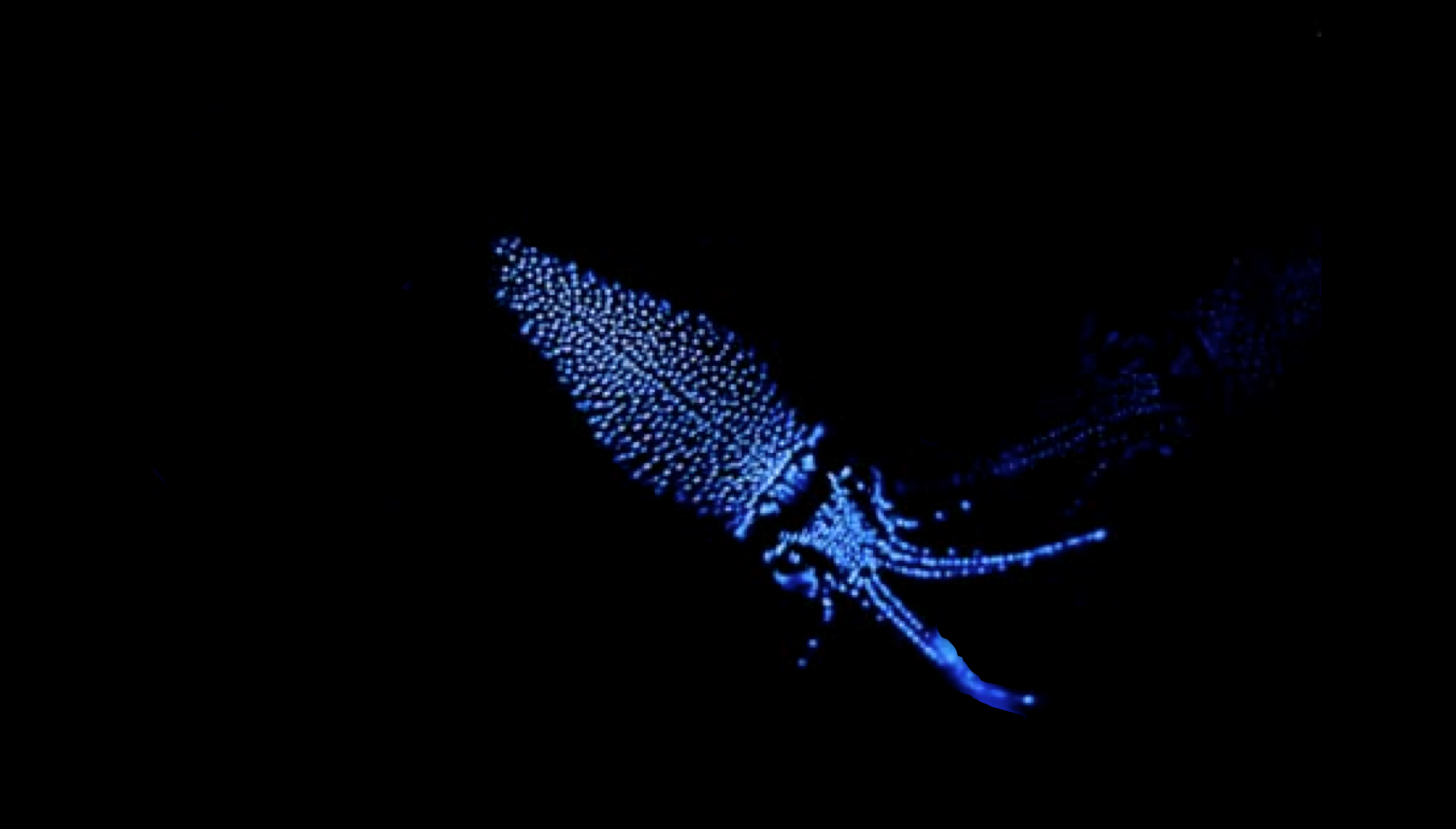 A glowing firefly squid. (Modified from Andrea Echeverria.