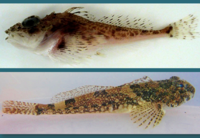 Tidepool Sculpins – Fish that Breathe out of Water